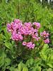 Phyllodoce empetriformis (Paradise, Skyline Trail, Mount Rainier, Washington)