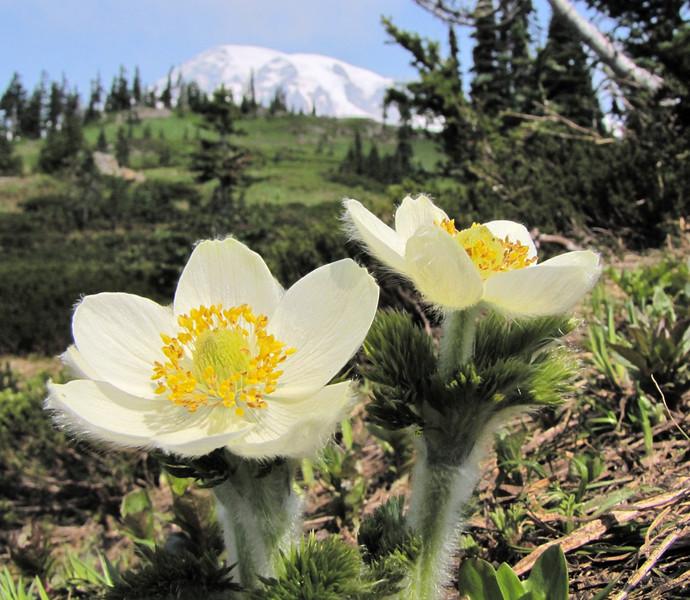 Anemone occidentalis (Paradise, Mount Rainier, Washington)