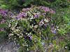 Phyllodoce empetriformis and Cassiope mertensiana var. mertensiana (Mount Rainier, Washington)