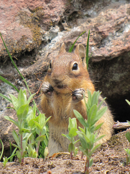 Spermophylus lateralis, Golden Mantled Ground Squirrel, Paradise, Mount Rainier NP, Skyline Trail