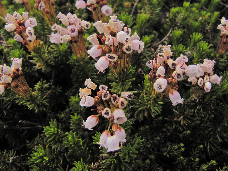 Phyllodoce x intermedia, the hybrid between P. glanduliflora and P. empetriformis - note the intermediate colour and the intermediate flower shape, Phyllodoce glanduliflora (Skyline Trail, Mount Rainier National Park, Washington)