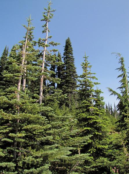 Abies lasiocarpa, Subalpine Fir (Mount Rainier National Park, Washington)