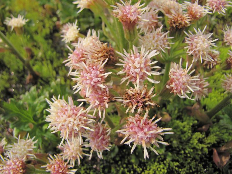Petasites frigidus var. nivalis, an alpine species (Skyline Trail, Mount Rainier National Park, Washington)