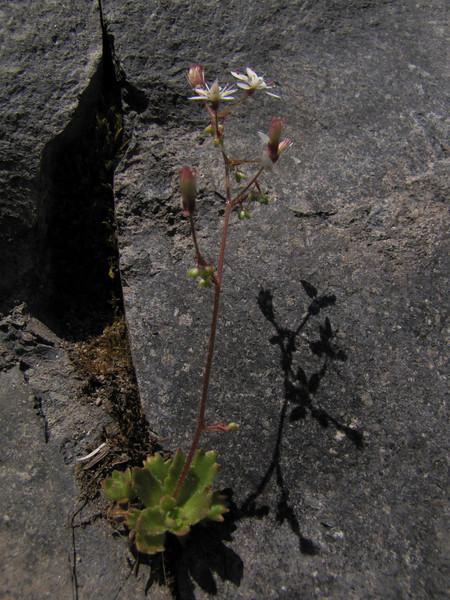 Micranthes ferruginea var. vreelandii (Paradise, Mount Rainier, Washington)