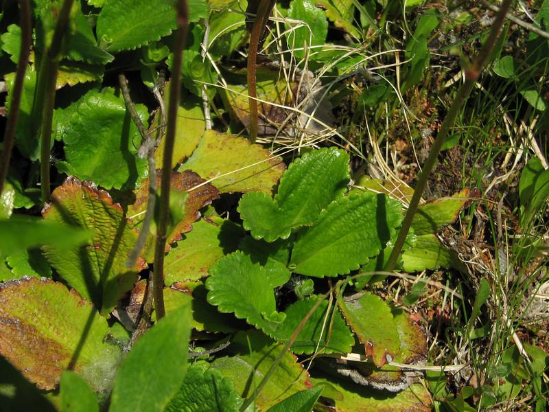 Leptarrhena pyrolifolia, Mount Rainier National Park, Washington)