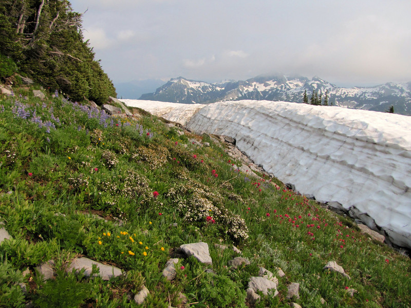 Springflowers near the snow, Paradise, Mount Rainier NP, Skyline Trail