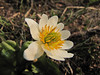 Caltha leptosepala ssp. howellii (Paradise, Mount Rainier, Washington)