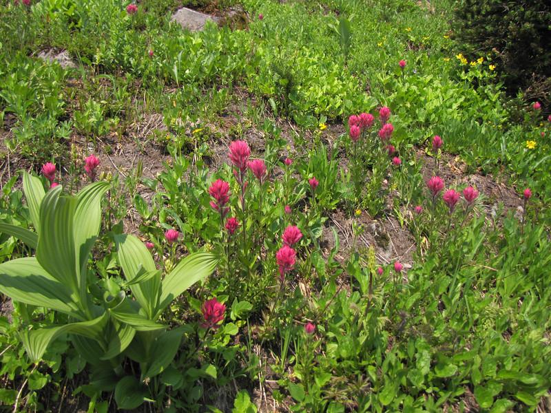 Castilleja parviflora (Paradise, Mount Rainier, Washington)