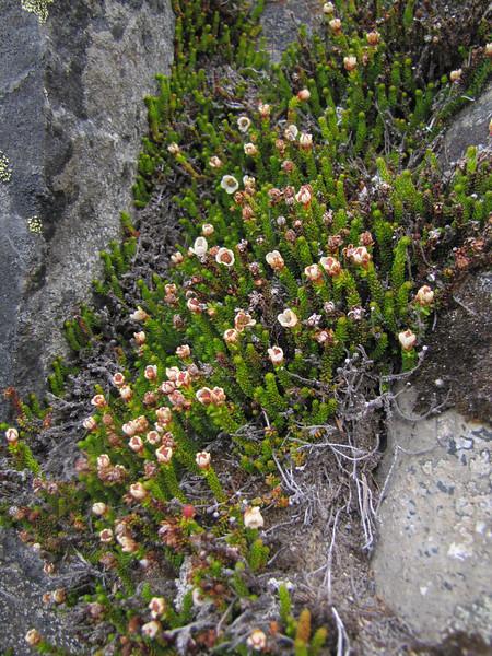 Harimanella stelleriana (Northfacing slope under Sunrise Ridge, Sunrise, Mount Rainier National Park, Washington)