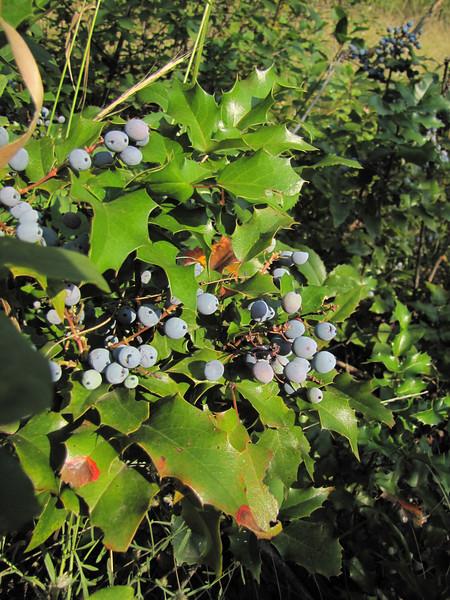 Mahonia spec. in fruit (near Cashmere - near Wenatchee -, Washington) Wenatchee National Forest