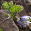 Anemone occidentalis (Klahane Ridge from Switchback Trail, Olympic Mountains)