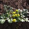 Lomatium martindalei (Switchback Trail, Olympic Mountains)