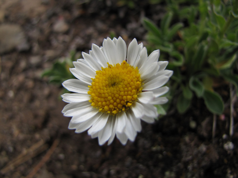 Aster spec.? (trail to Mount Townsend from upper trailhead)