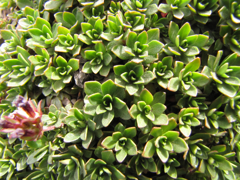 rosettes of Douglasia laevigata (North side of Klahane Ridge, Olympic Mountains)