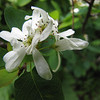 Amelanchier alnifolia, not the sawtooths on some of the leaf margins (trail to Mount Townsend from upper trailhead)