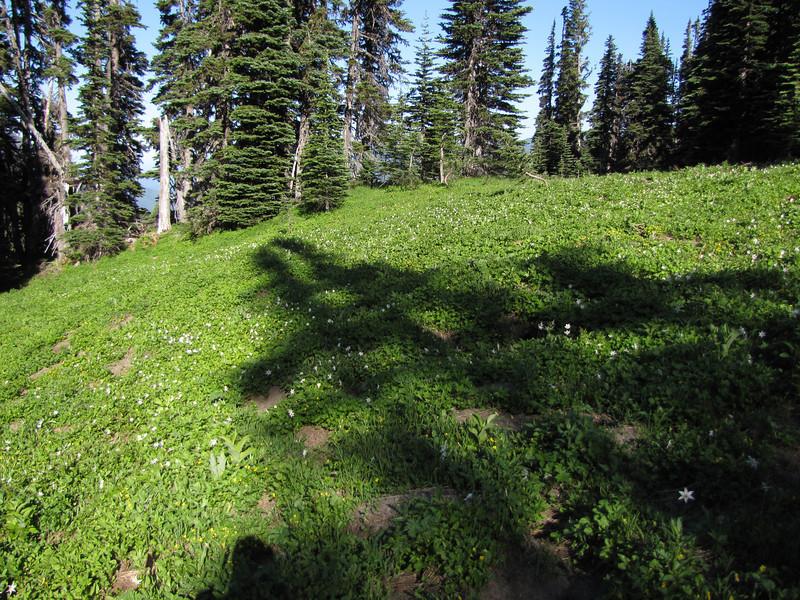 Erythronium montanum (near Hurricane Ridge, Olympic Mountains)