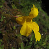 Mimulus spec. (near Switchback trail trailhead, Olympic National Park)