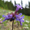 Penstemon procerus var. tolmiei? (trail to Mount Townsend from upper trailhead)