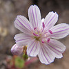 Lewisia columbiana var. rupicola (trail to Mount Townsend from upper trailhead)