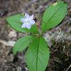 Trientalis borealis ssp. latifolia (between Quilcene and upper trailhead Mount Townsend)