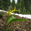 Erythronium grandiflorum (trail to Mount Townsend from upper trailhead)