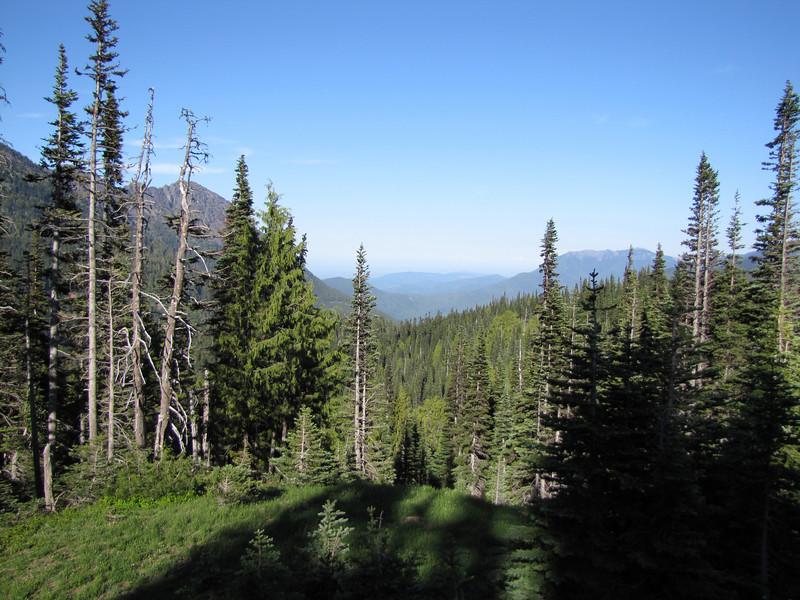 Abies procera? (Hurricane Ridge, Olympic Mountains)