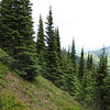 Abies procera of contorta (trail to Mount Townsend from upper trailhead)