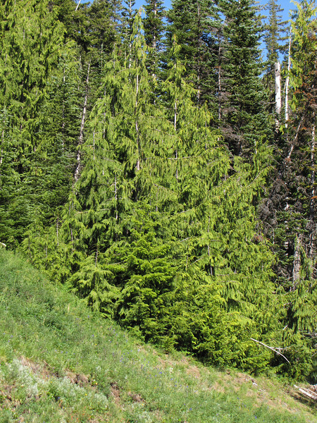 Chamaecyparis nootkatensis (Between Heart of the Hills and Hurricane Ridge, Olympic Mountains)