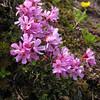 Douglasia laevigata (North side of Klahane Ridge, Olympic Mountains)