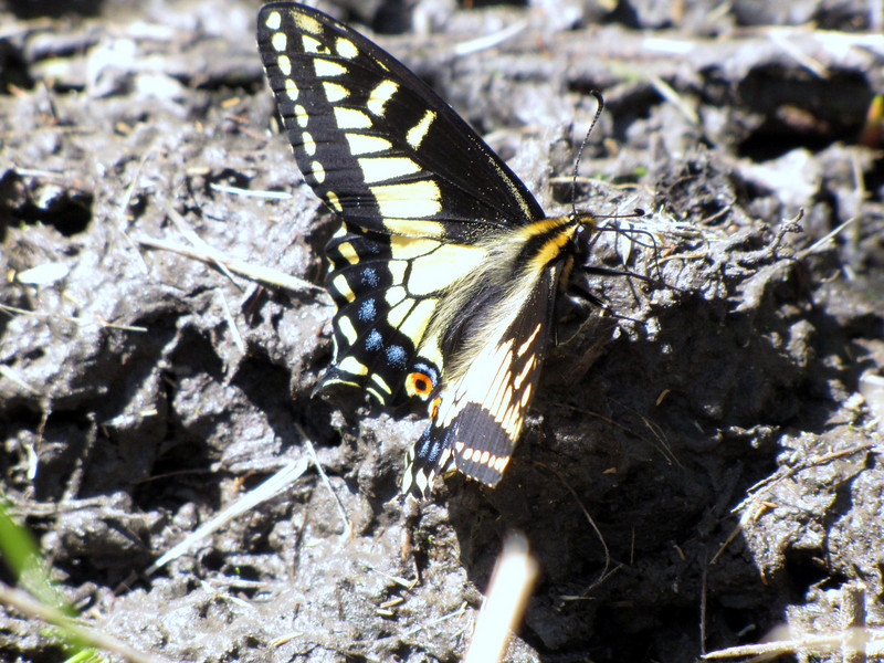 Papilio zelicaon, Anise Swallowtail (NL: Koninginnepage=P. machaon)(near Heart of the Hills, Olympic Mountains)