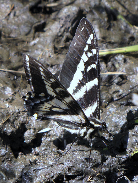 Papilio eurymedon, Pale Swallowtail, West America (near Heart of the Hills, Olympic Mountains)