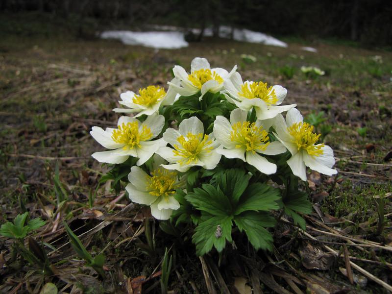 Trollius laxus var. albiflorus (trail to Mount Townsend from upper trailhead)