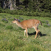 Odocoileus columbianus, Columbian black-tailed deer, female (Hurricane Ridge, Olympic Mountains)