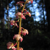 Pyrola asarifolia, campground Heart of the Hills
