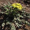 Lomatium hallii (Switchback Trail, Olympic Mountains)