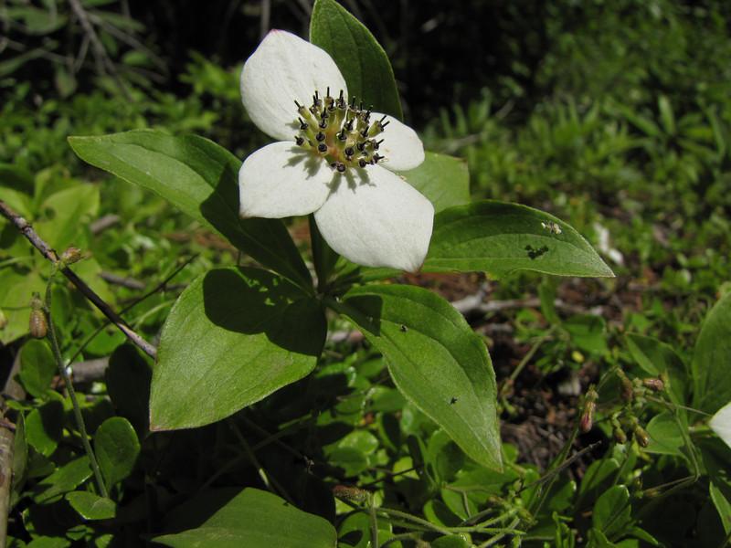 Cornus unalaschkensis (near upper trailhead Mount Townsend)
