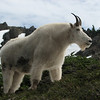 Oreamnos americanus, Mountain Goat, (Scree on northside of Klahane Ridge, Olympic Mountains)(photo K.J.)