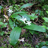 Clintonia uniflora (trail to Mount Townsend from upper trailhead)