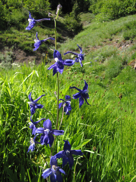 Delphinium menziesii (between Heart of the Hills and Hurricane Ridge, Olympic Mountains)