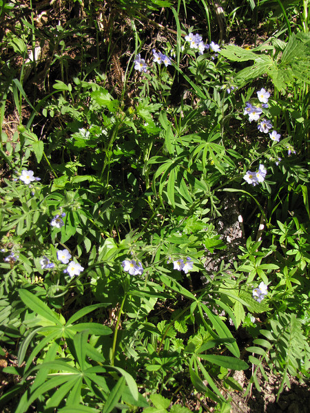 Polemonium pulcherrimum (near Hurricane Ridge, Olympic Mountains)