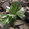 Anemone occidentalis (Scree on northside of Klahane Ridge, Olympic Mountains)