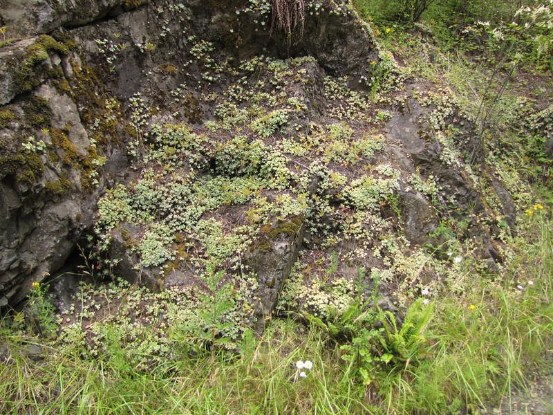 habitat of Sedum spathulifolium (near Quilcene)