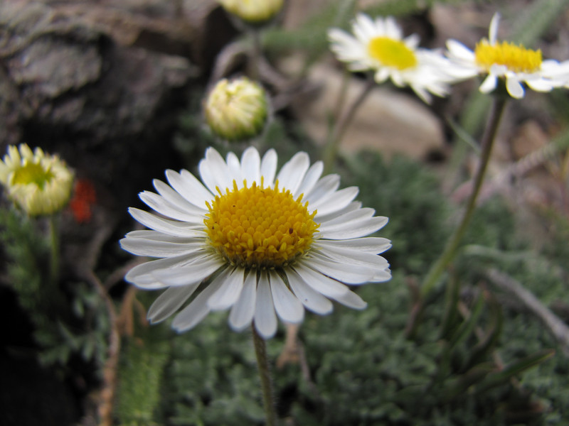 Erigeron compositus (Switchback Trail, Olympic Mountains)
