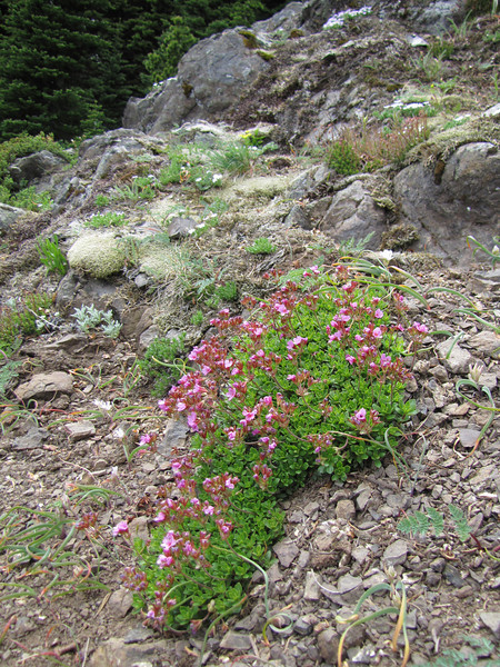 Douglasia laevigata var. ciliolata (trail to Mount Townsend from upper trailhead)