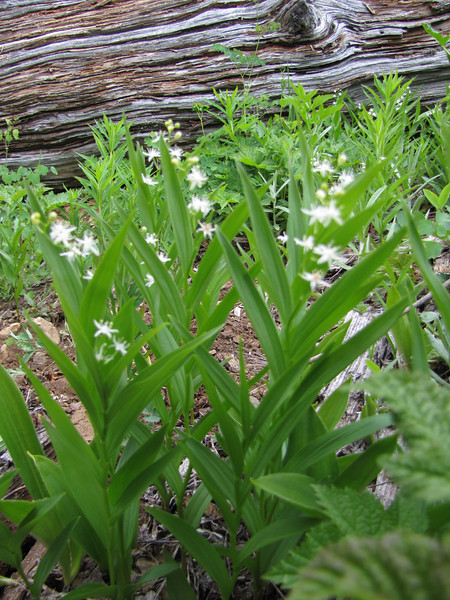 Maianthemum stellatum (trail to Mount Townsend from upper trailhead)