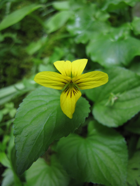 Viola glabella or sempervirens? (trail to Mount Townsend from upper trailhead)