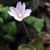 Epilobium minutum (North side of Klahane Ridge, Olympic Mountains)