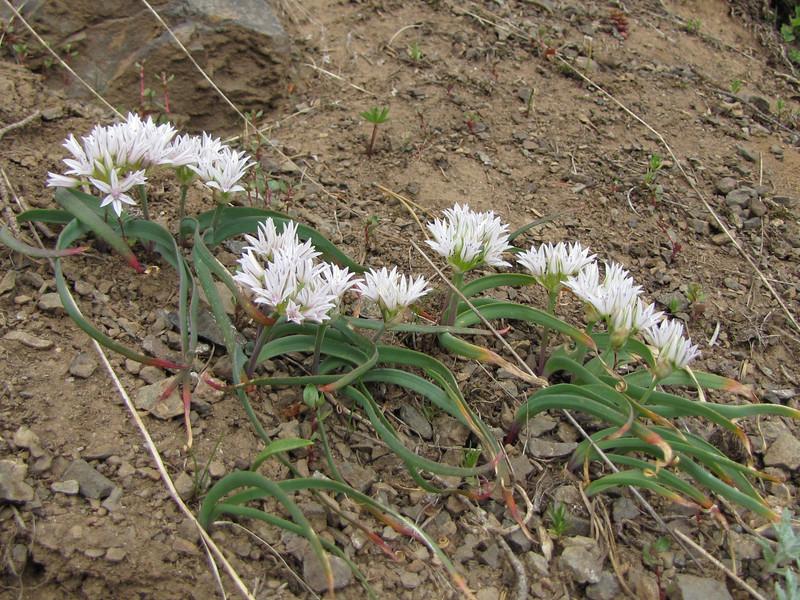 Allium crenulatum (trail to Mount Townsend from upper trailhead)
