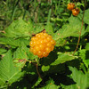 Rubus spectabilis, roadsite 101 South Washington (photo KJ)
