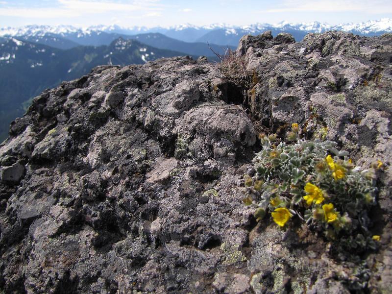 Potentilla villosa (Klahane Ridge from Switchback Trail, Olympic Mountains)